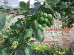 Mirabelle plums at our B&B